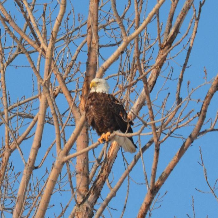 bald eagle 2 web
