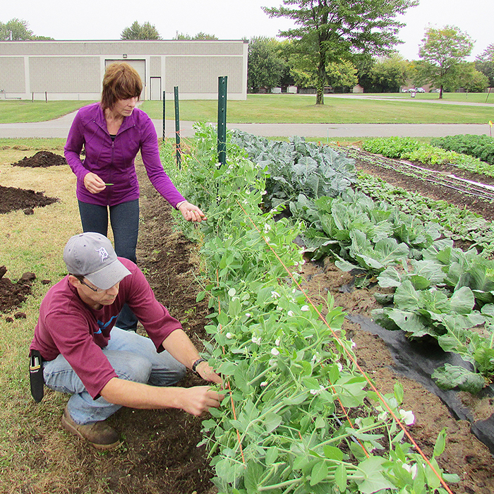 Dean Hale and Carol Williams pick some of the peas that are being grown in a community garden on Grand Ave. E. The pilot project is providing food for its members as well as local food banks.