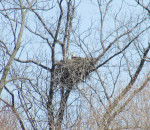 The nest of a pair of bald eagles and two eaglets can be seen in this tree in a bush at the south end of Fargo Line in Shrewsbury. According to area enthusiasts, this is the first year for eagle babies in this particular nest.